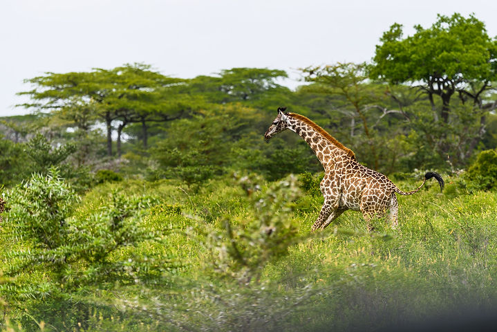 Giraffes usually take it easy, but this one was in a hurry. Masai giraffe.