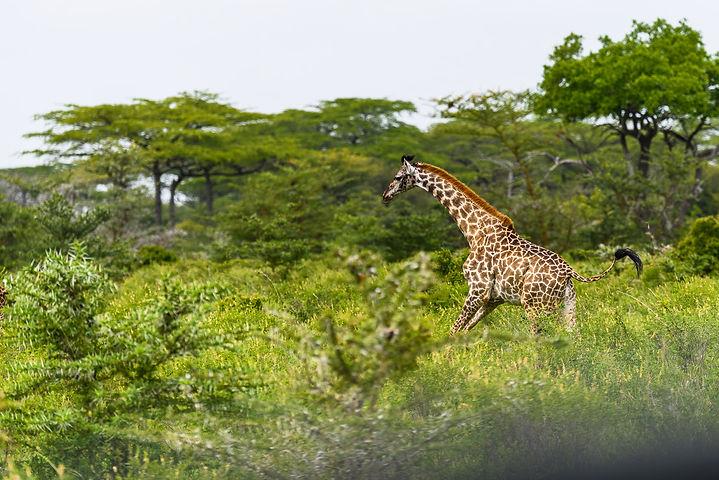 Giraffer tar det ofta lugnt, men den här hade bråttom. Masaigiraff.