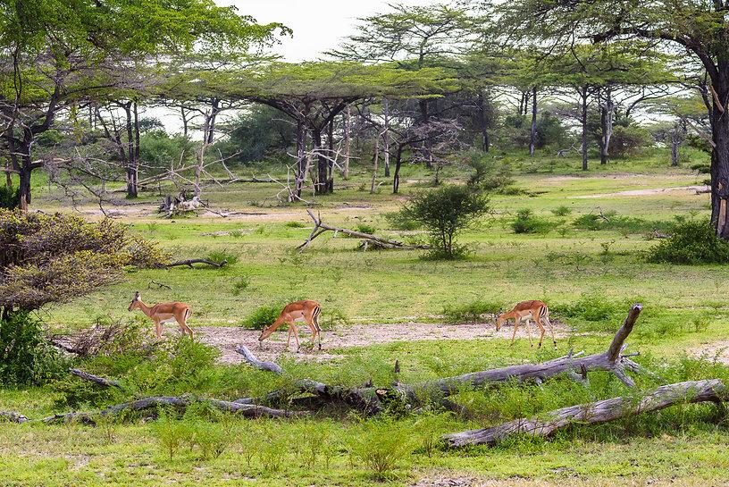 Det vackra trädlandskapet med en flock impalaantiloper