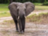 Ung elefanthanne som försöker skrämma os