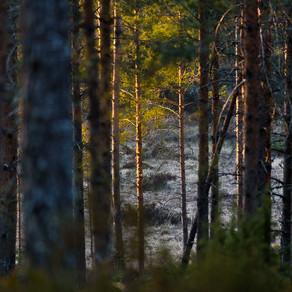 Kväll i skogen