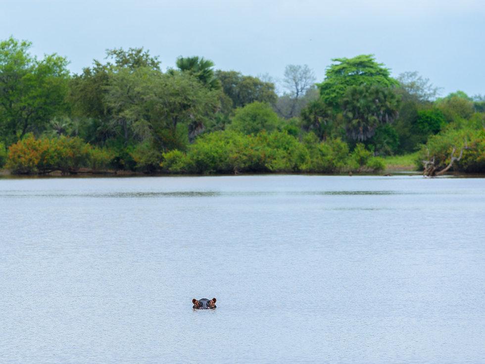 Hippo in Rufiji river