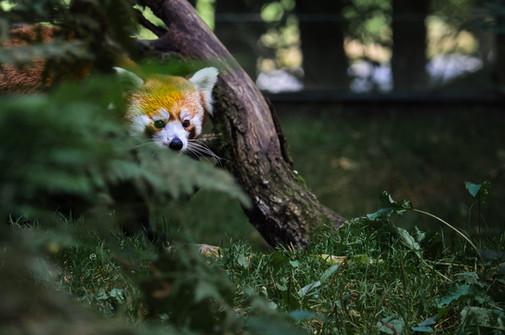 Röd panda (liten panda)