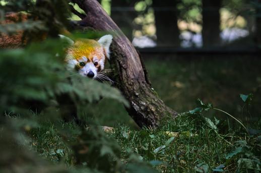 Red panda (small panda)