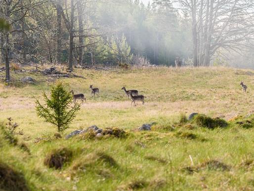 Grensholm - hjortar och slottsruin