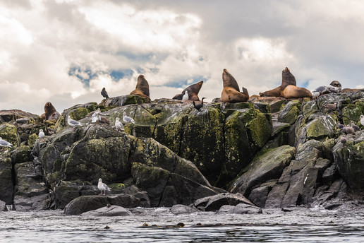 Sea lions on Race Rocks