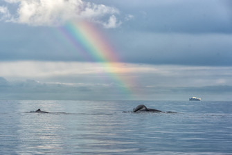 Two humpback whales with rainbow