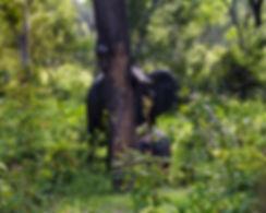Elefant med unge. Utsatta för tjuvjakt.