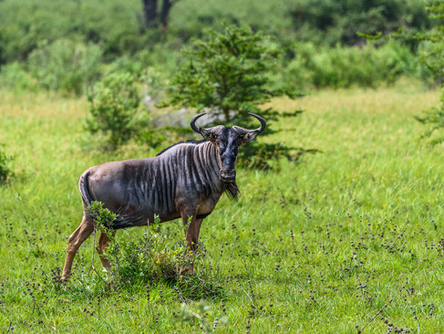 Black-bearded wildebeest