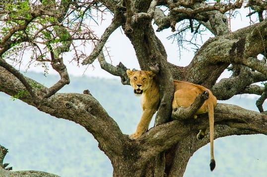 Trädklättrande lejon
