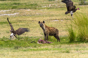Spotted hyena and Lappet-faced Vulture