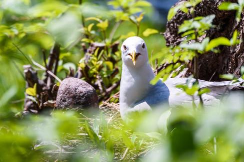 Angry gull mum