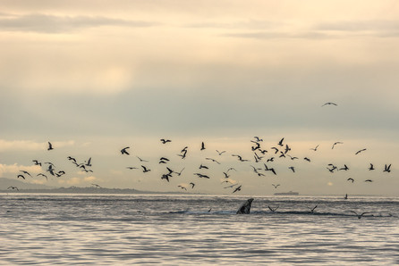 Humpback whales and seagulls share the food