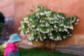 Änglatrumpet, modell större, och dess trädgårdsmästare på gravplatsen