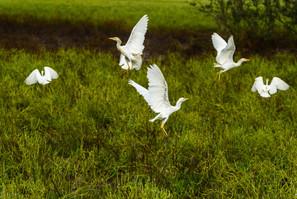 Catle egret balett