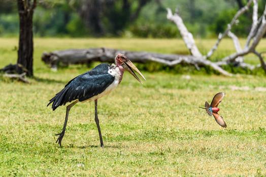 Marabou stork and carmine bee eater