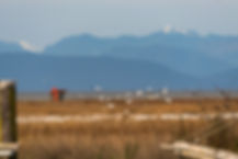 I utkanten av Steveston fanns en udde med fågelområden