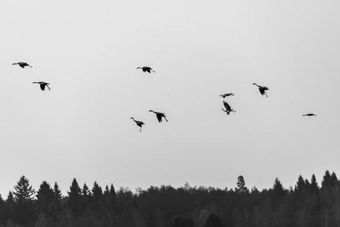 Crane swarming