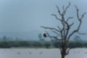 Afrikansk fiskörn (skrikhavsörn)