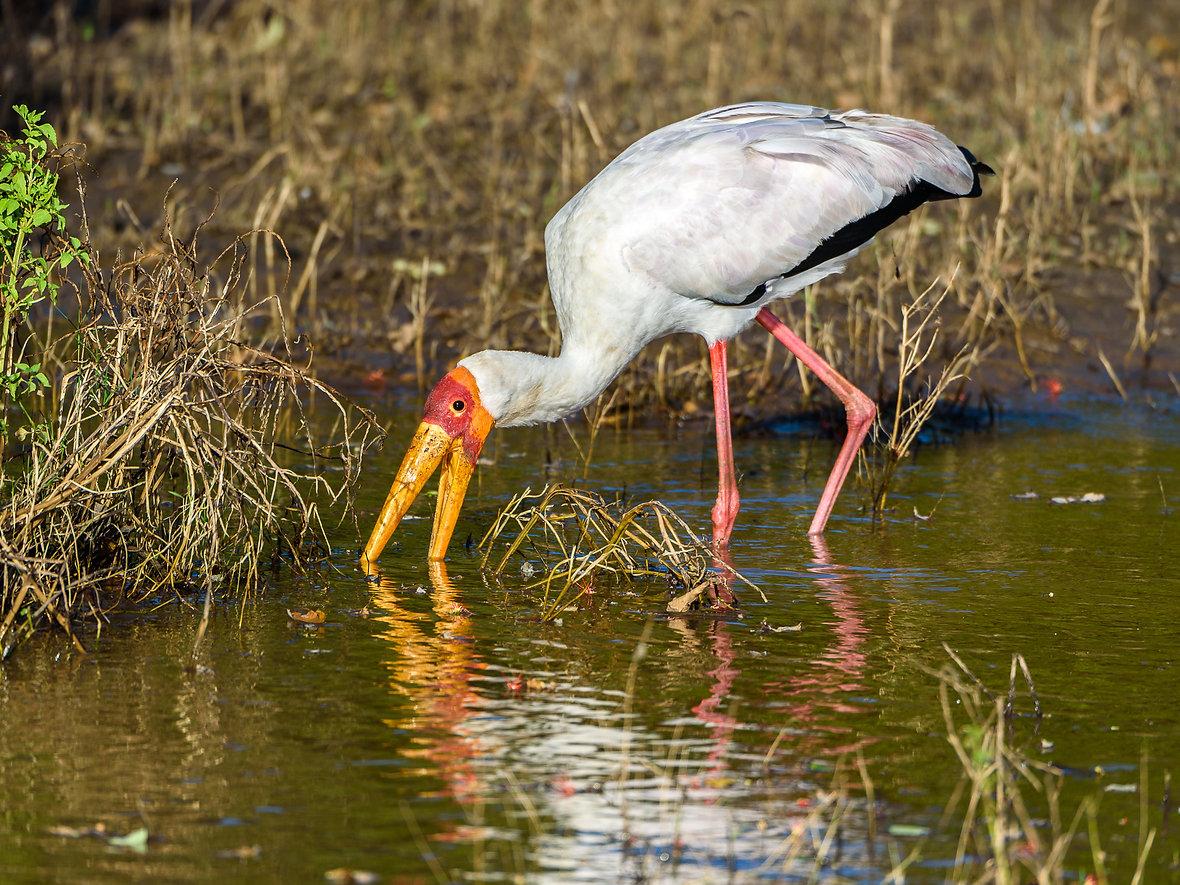 African ibis stork