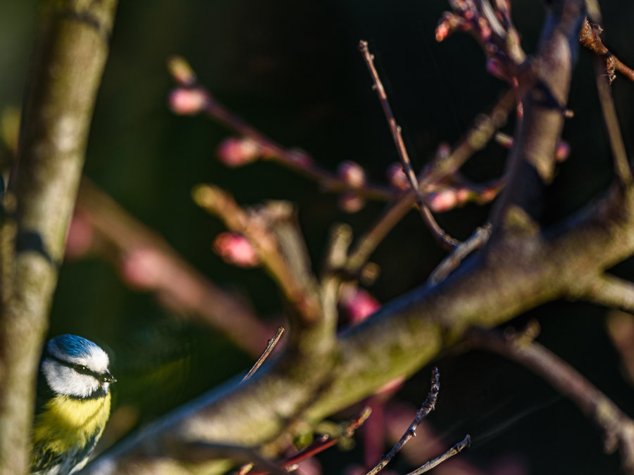 Blue tit in peach tree