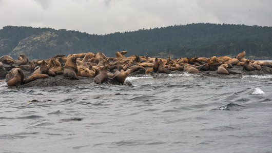 Crowd of sea lions
