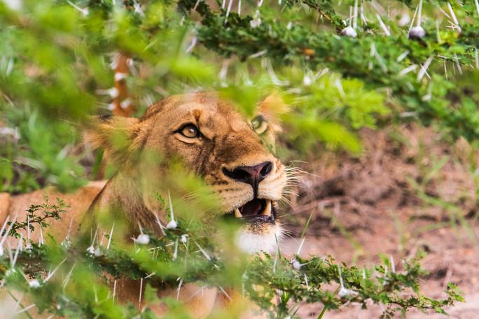 Lion in Selous