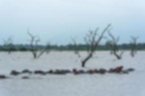 Flodhästar i Rufiji river