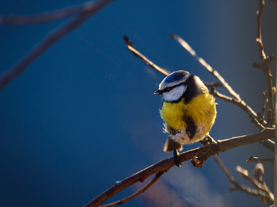 Blue tit in sunset