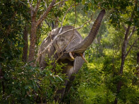 Jagad elefant