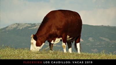 fleckvieh ganadería
