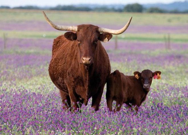 Vaca Retinta