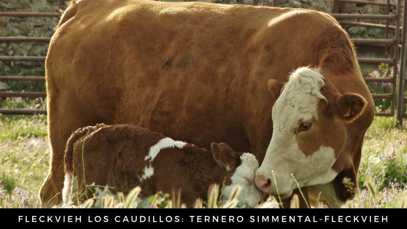 vaca y ternero fleckvieh