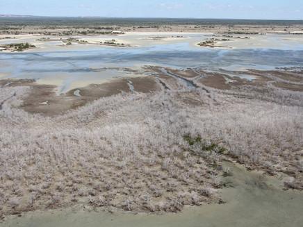 Mudanças climáticas causam morte maciça de mangues na Austrália