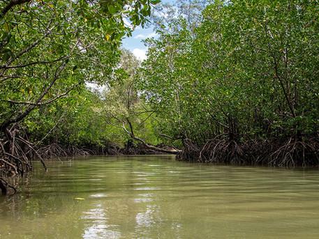 Saiba porque os manguezais são tão importantes