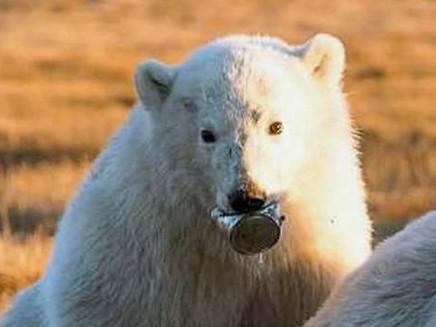 A imagem de urso polar com lata presa na boca que serve de alerta para o lixo jogado no mundo