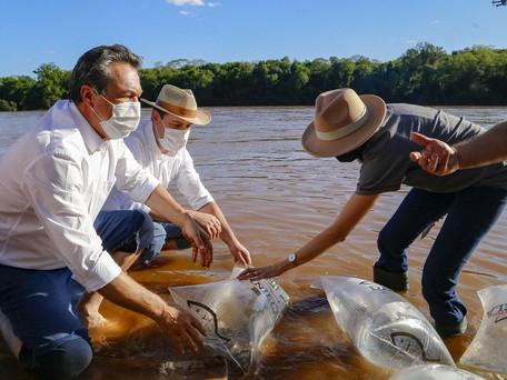 Programa Rio Vivo repovoa rio Ivaí com 20 mil dourados juvenis