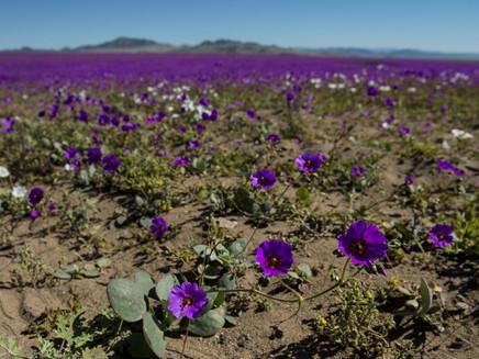 Flores multicoloridas cobrem deserto mais seco do mundo