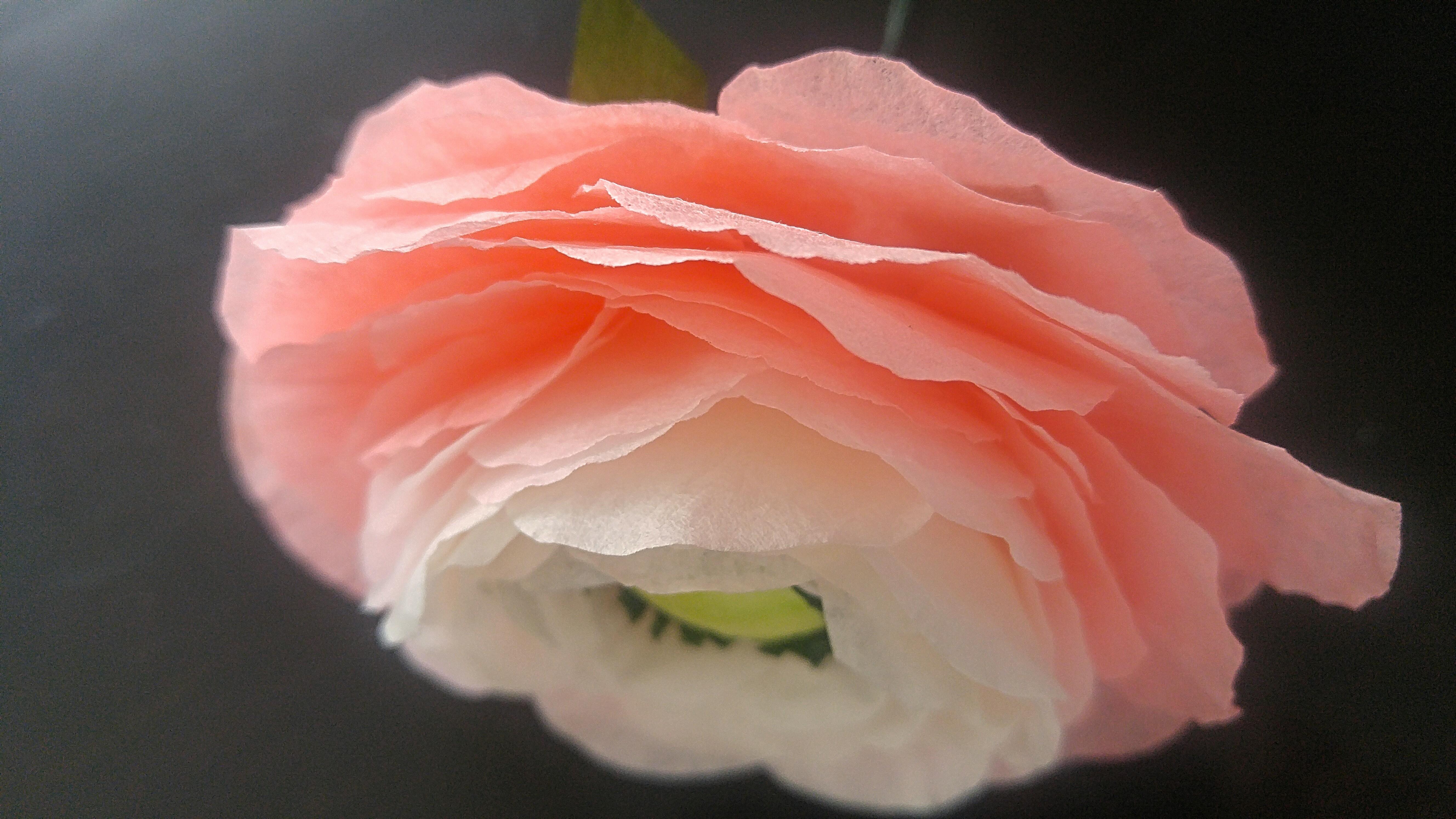 Coral Ranunculus