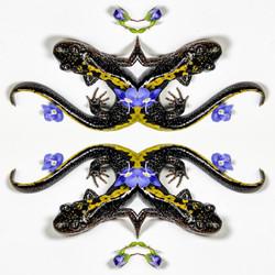 Salamander Forgetmenots