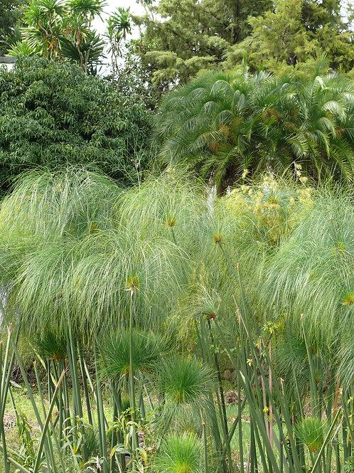 Photo à encadrer - Cyperus papyrus (21x29,7cm)
