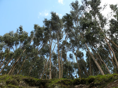 Photo à encadrer - Eucalyptus (29,7 x 21cm)