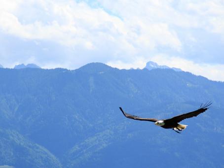 28/04 - Asas comode águias