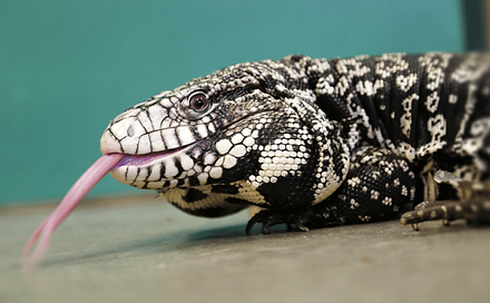 black-and-white-tegu-for-sale.png