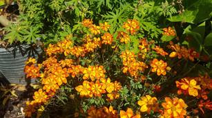 Orange bidens geranium