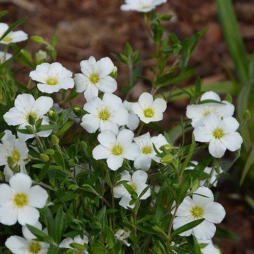 Arenaria montana 9cm