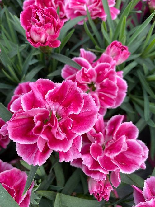 Dianthus 'Strawberry Cream' 1L