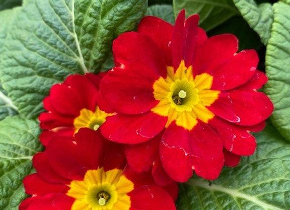 Primrose Red 9cm