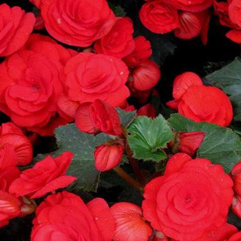 Begonia Red 1L