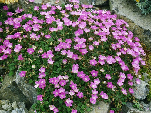 Erodium  'Bishops Form' 2L